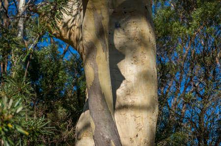Large gumtree eucalyptus tree trunk with shedding bark nature background. Australian plants and trees  Фото со стока
