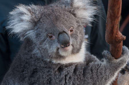 Portrait of cute cuddly koala bear animal on a eucalyptus tree. Australian native wildlife endangered species background