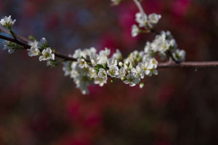 Blooming white sakura flower springtime nature background. White cherry flower twig, branch floral close up