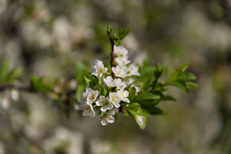 Close up of white cherry flower branch, twig floral background. Blooming sakura tree springtime scene  Stock Photo