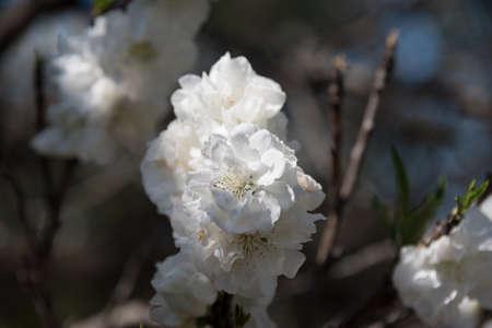 Close up of beautiful white flowers of sakura, cherry tree. Flowering tree spring background  Stock Photo
