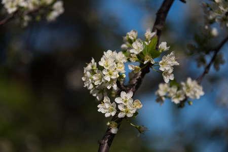 White sakura flower springtime nature background. Cherry flower twig, branch floral close up