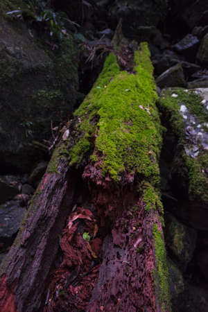 Forest scene with old tree trunk covered with green moss. Rainforest biodiversity, ecosystem. Forest management decay scene