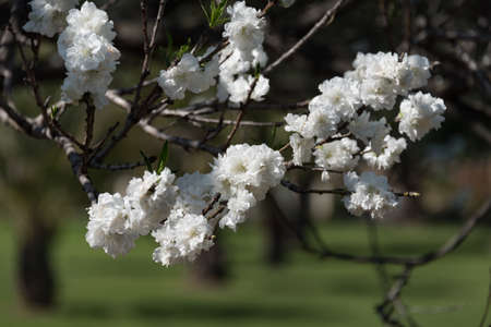 White cherry blossom branch in the garden. Blooming tree springtime nature background