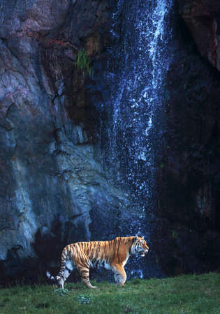 loner: A siberian tiger in front of a waterfall