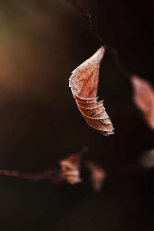 A brown withered leaf on a branch