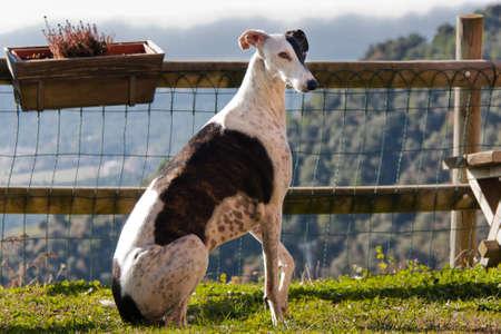 Spanish Grey Hound Dog
