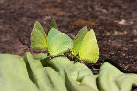 Green butterflies on agreen shirt