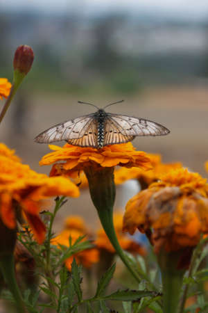 Butterfly ready to take off in a carnation garden Stock Photo