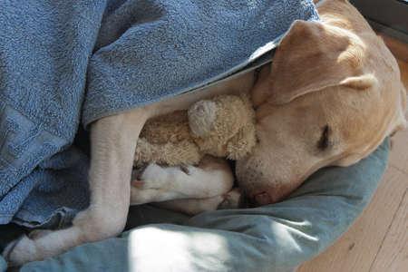 Labrador sleeping holding a teddy bear