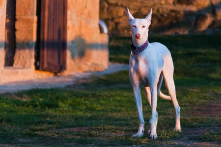 White Hound Dog portrait