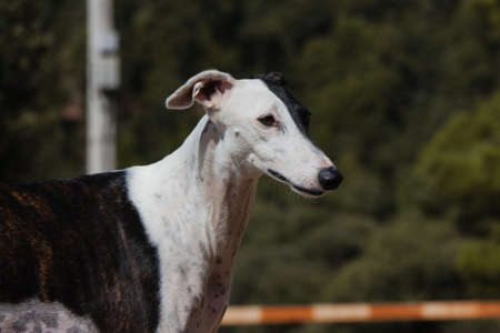 Spanish Greyhound dog photo