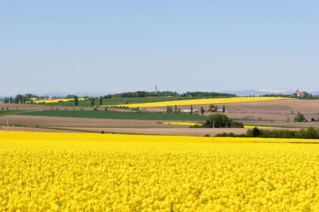 oilseed: Yellow fields under the snowy mountains