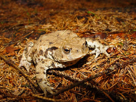 Brown toad in wood - photo photo