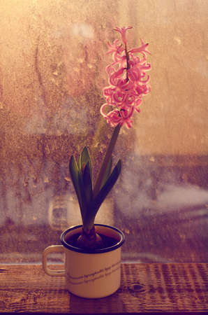 windowsill: Blooming pink hyacinth flower in metal cup on old wooden window-sill in sunset lights