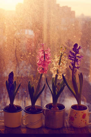 Colorful blooming hyacinth flower in cups on old wooden window sill in sunset lights photo