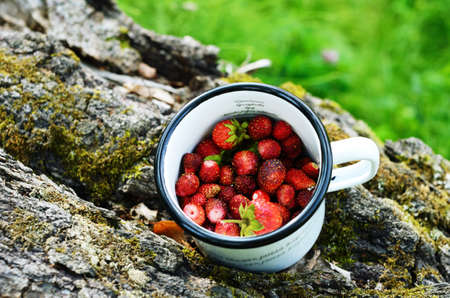 wild strawberry: Gathering wild strawberry in a summer grove