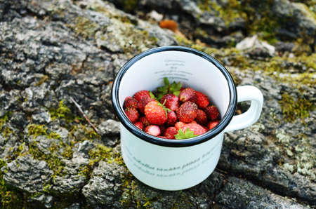 ourdoor: Gathering wild strawberry  in summer forest