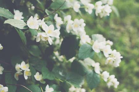 jasmine bush: Blooming jasmine bush with tender white flowers