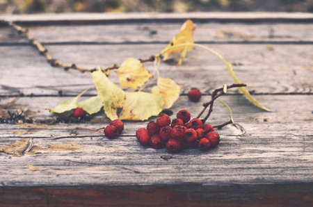ash berry: Bunch of red ash berry on rustic bench, autumn mood