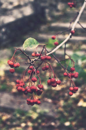 ash berry: Branch of ash berry in abandoned garden