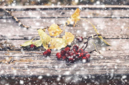 ash berry: Bunch of red ash berry and falling snow Stock Photo