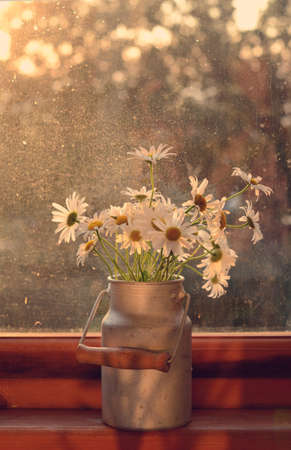 windowsill: Bunch of daisy in old churn on wooden windowsill in sunlights