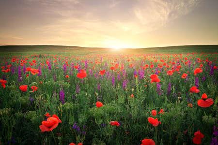 草、紫色の花、夕焼けの空に対して赤いケシのフィールド