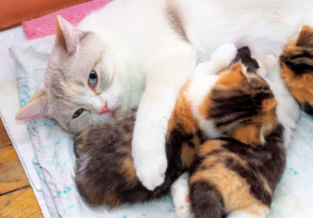 nipples: Adorable small kittens with mother cat. kittens suckling at mother cats nipples. Scottish cats Stock Photo