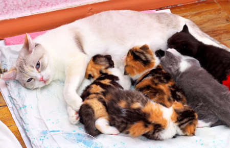 grey hair female: Adorable small kittens with mother cat.  Stock Photo