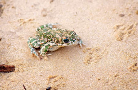 wart: Toad Sits on a sand and Waits