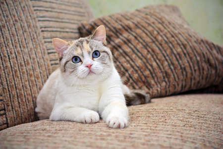 ソファの上に横たわる美しい猫