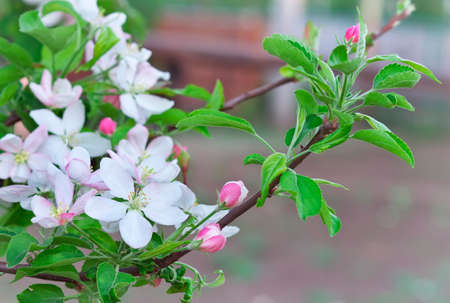 abloom: Apple blossoms in spring. Blossom apple tree Stock Photo