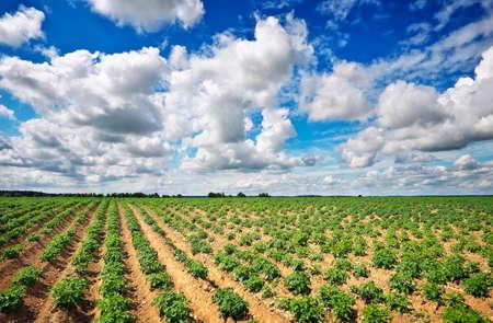 ポテトと曇り空のフィールドを持つ美しい風景です。 写真素材