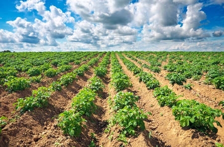 on field: Beautiful landscape with field of potatos and cloudy blue sky.