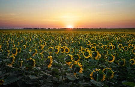 girasol: Campos del girasol en luz cálida noche. Compuesto de Digitaces de un amanecer en un campo de girasoles amarillos de oro. Foto de archivo