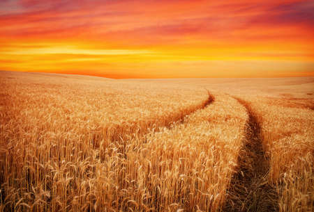 field sunset: Beautiful landscape with field of wheat and sunset sky. Meadow of wheat. Stock Photo