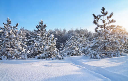 Winter landscape. Composition of nature. Winter landscape with firs and road