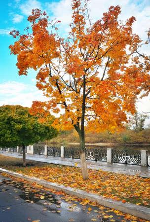 colorful maple trees: Colorful maple trees in the autumn park. Colorful autumn