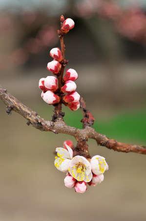 Apricot tree blossom flower.