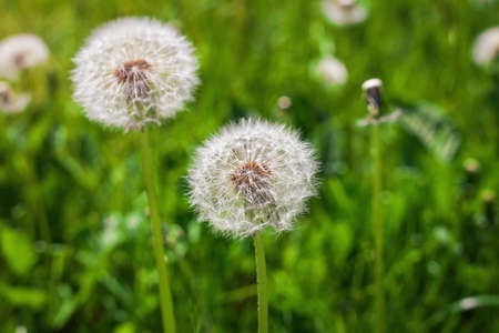 posterity: Seeds of dandelion.