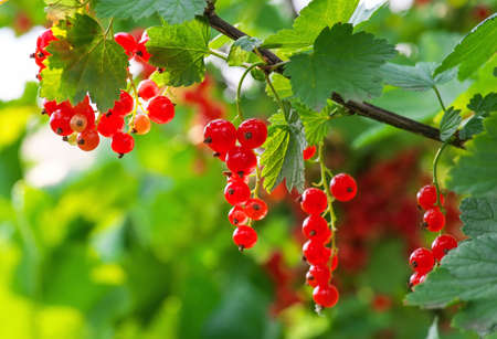 Red Currants Growing In The Garden