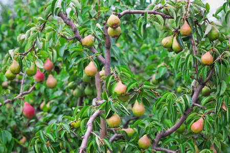 Overvloed van peren die op een perenboom groeien Stockfoto
