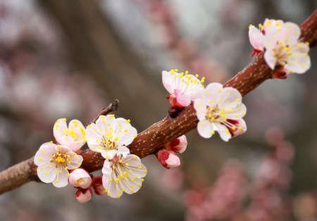 apricot tree: Apricot tree blossom flower Stock Photo