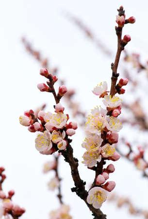 apricot tree: Apricot tree blossom flower on blue sky.