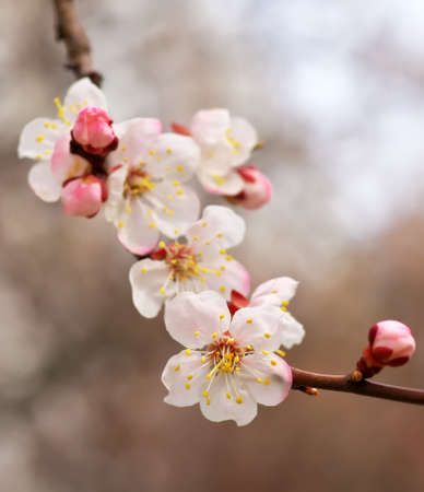 apricot tree: Apricot tree blossom flower on blue sky. Spring flowering apricot