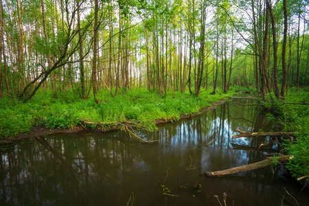 backwater: Beautiful landscape with a river in the forest.