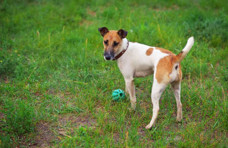 glade: Fox terrier dog with a ball on green glade