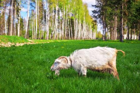 he goat: The white goat eats green grass.