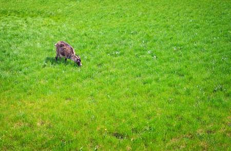 he goat: The white goat eats a green grass. White goats feeding on the farm